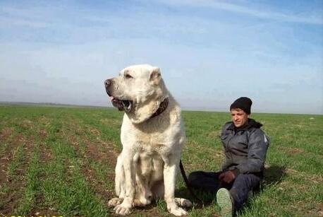 kangal köpek, çok iri, sahibinin yanında
