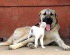 """Dünyaca meşhur """"Arslan yürekli"""" köpeğimiz"""