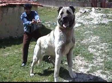 kangal köpek, sahibi zor tutuyor